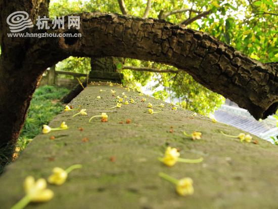 杭州西湖成功申遗 西湖特色植物   桂花——西湖沿岸各大公园均大量